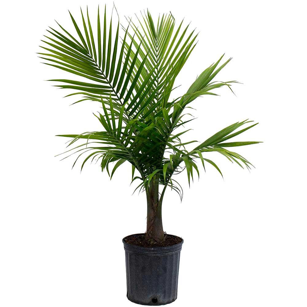 palmiye huglero.com