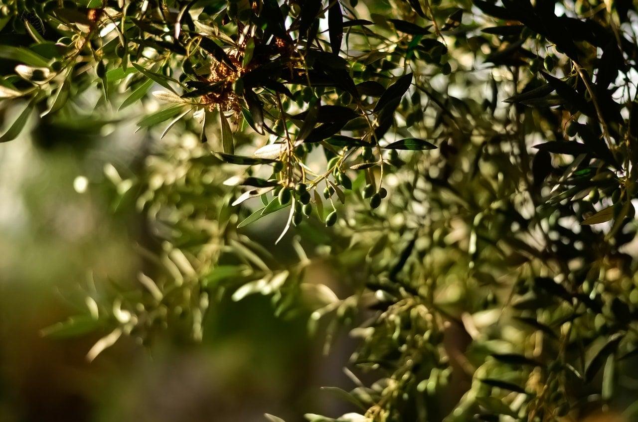zeytin ağacı https://huglero.com