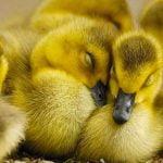 sevimli ördekler https://huglero.com