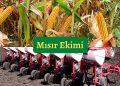 mısır ekimi nasıl yapılır, mısır nasıl ekilir? https://img.huglero.com