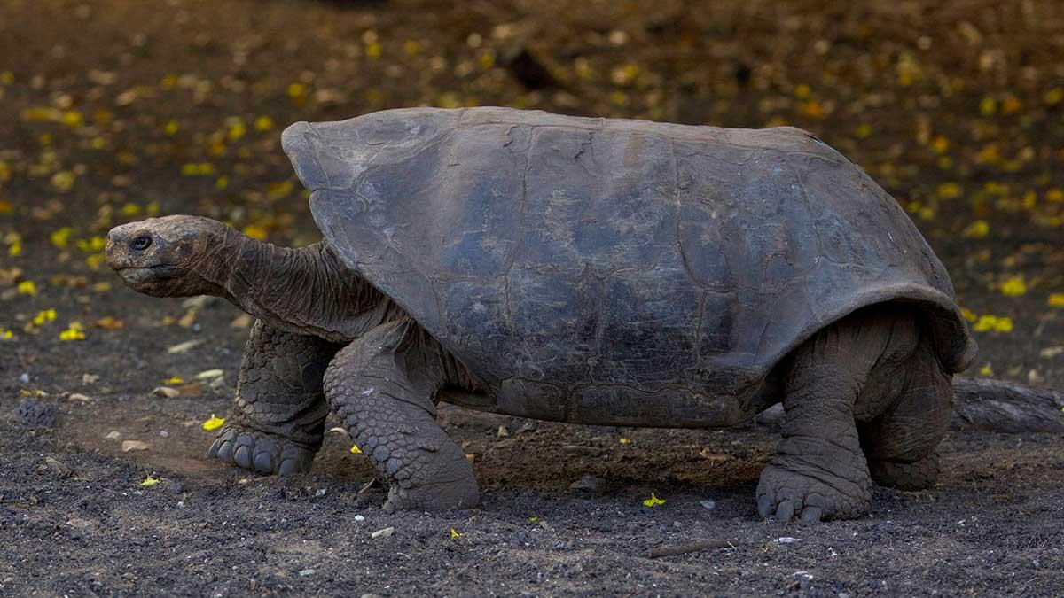 galapagos kaplumbağası yok olmak üzere. biyo çeşitliliği korumak için sürdürülebilir enerji kullanmak şart https://huglero.com