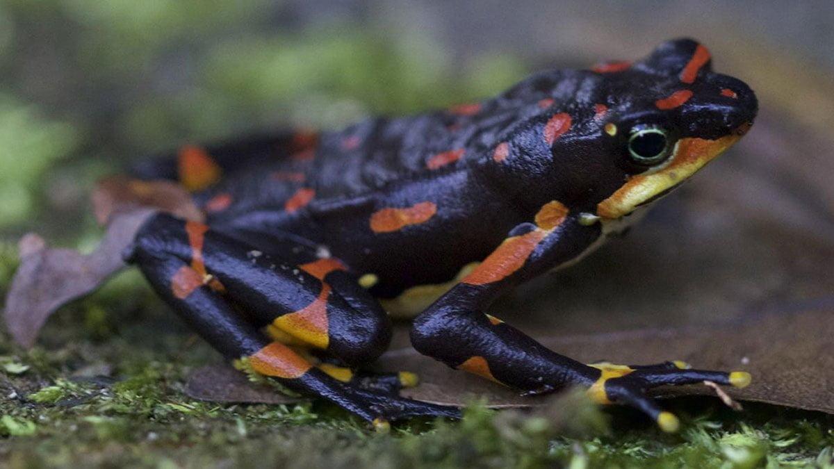 palyaço kurbağası nesli tükenmek üzere. vahşi hayvanları korumak insan ırkını korumak için şart.