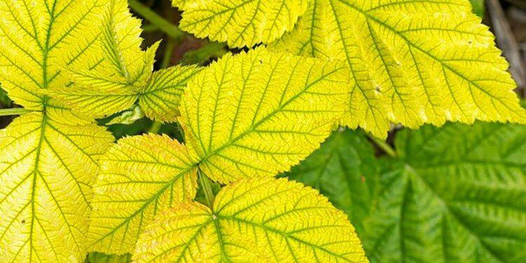 bitkilerde yaprak sararması https://img.huglero.com