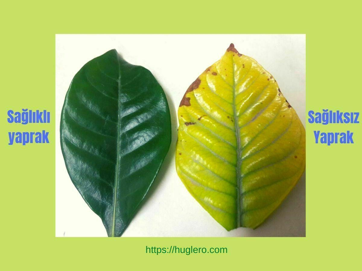 bitkilerde yaprak sağlığı ve demir eksikliği - yaprak sararması demir tozu gübresi ile önlenebilir - infografik https://huglero.com