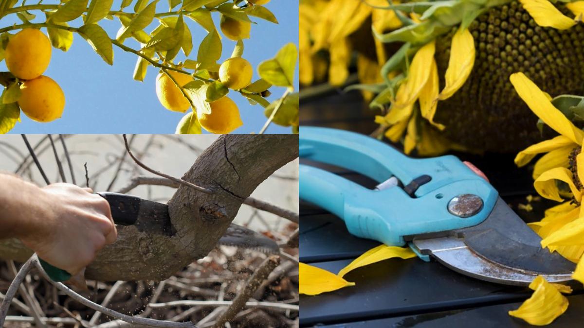 Lİmon ağacı budama nasıl yapılır - budamada kullanılan aletler nelerdir? https://huglero.com