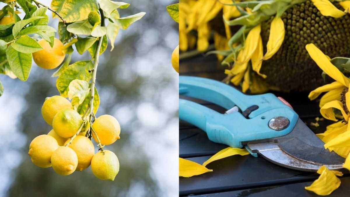 limon ağacı nasıl budanır https://img.huglero.com