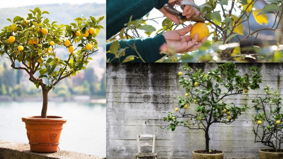 Saksıda limon budama nasıl yapılır? Limon meyvesini budarken dikkat edilmesi gereken noktalar nelerdir? https://huglero.com