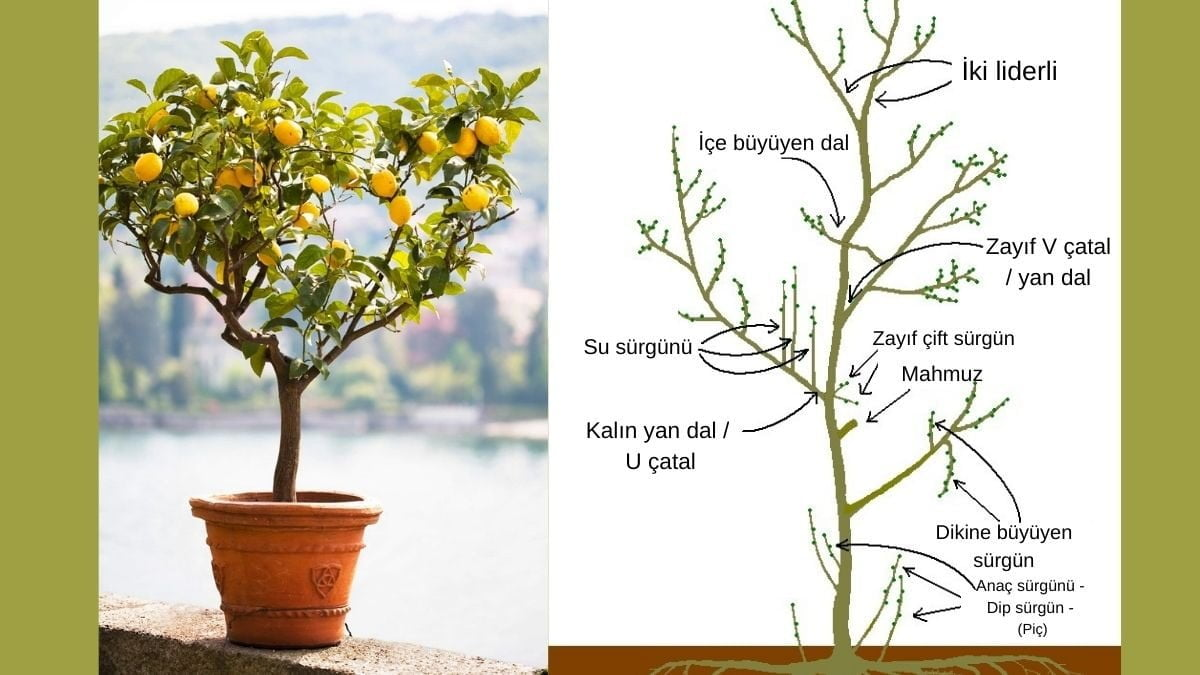 Limon ağacı nasıl budanır? budama zamanı nedir? hangi teknikler izlenir? https://huglero.com