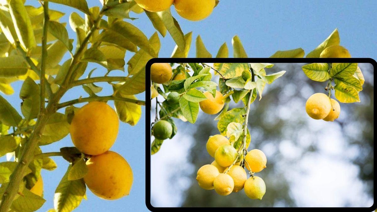 Limon ağaçlarında yaprak sararması neden olur? Nasıl tedavi edilir? Limonda yaprak sararması önleme https://huglero.com