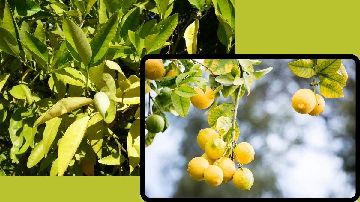 limon ağacaında yaprak sararması neden olur nasıl önlenir? https//img.huglero.com/wp