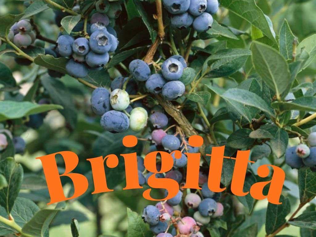 Brigitta (Vaccinium corymbosum), eski ve çok yaygın olarak yetiştiriciliği yapılan bu blueberry çeşidi oldukça verimli olup Avusturalya'da geliştirilmiştir. https://huglero.com