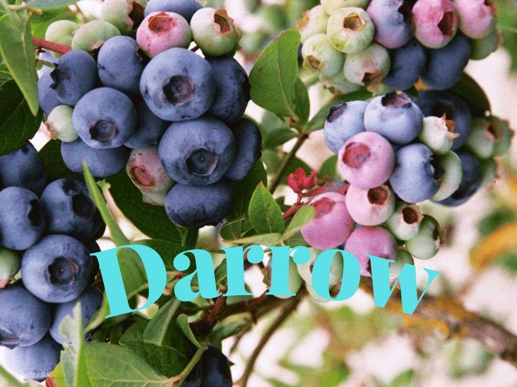 Blueberry Darrow, Ağustos ayında olgunlaşan geççi bir çeşittir https://huglero.com