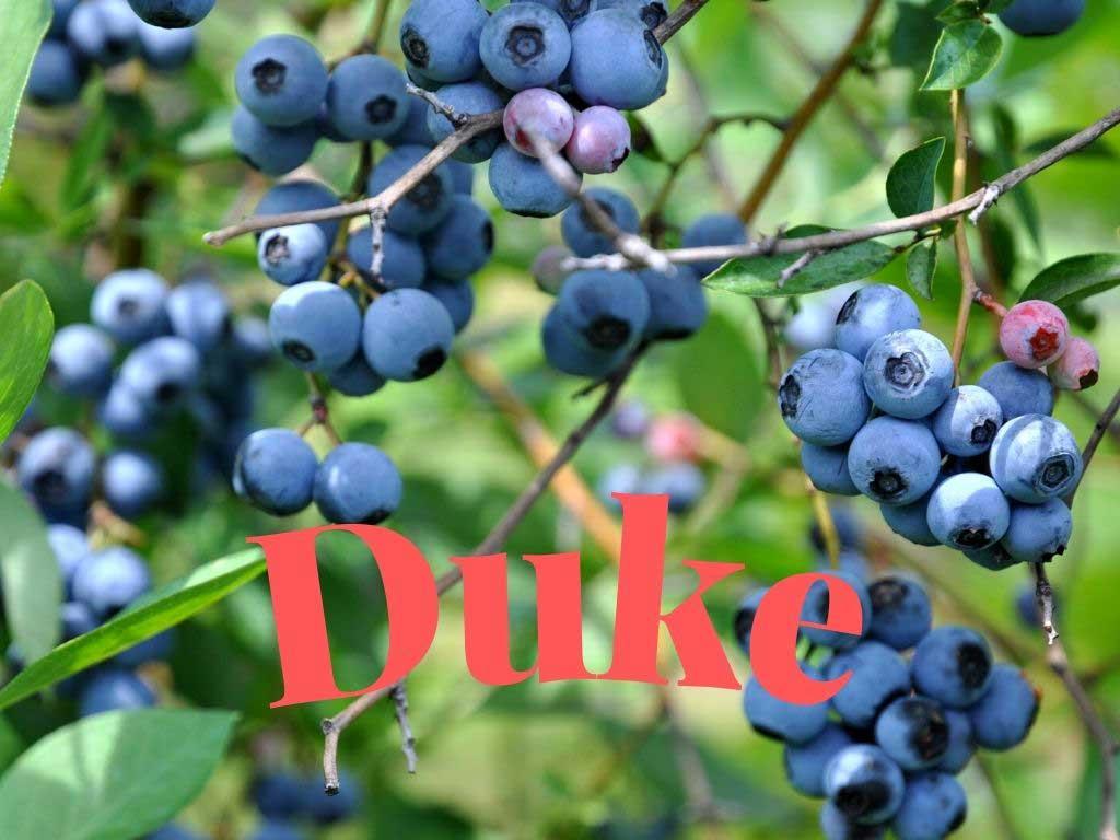 Blueberry Duke, aynı zamanda da dekoratif bir bitkidir. https://huglero.com