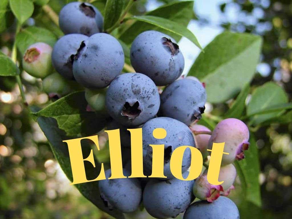Maviyemiş Elliot (Vaccinium elliottii) Olgunlaşması geç dönemde yani Ağustos-Eylül aylarında olur https://huglero.com