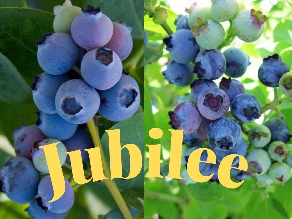 Blueberrry Jubilee (Ericaceae Vaccinium corymbosum) Olgunlaşma dönemi orta mevsim yani Haziran ayında olan Güney çeşididir. https://huglero.com