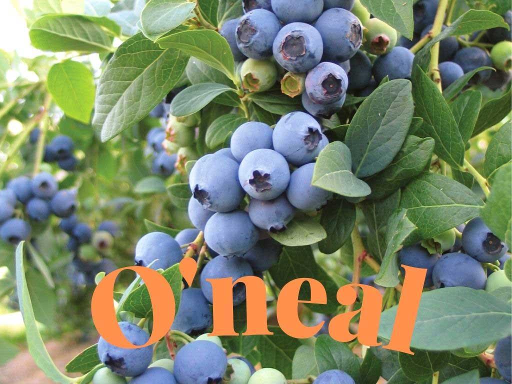 O'NEAL (Oneal) Vaccinium darrowii blueberry https://huglero.com