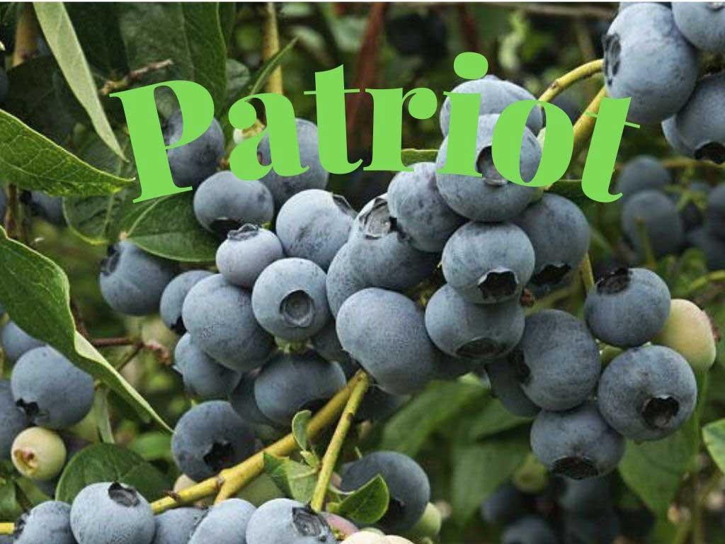 Mavi yemiş Patriot (Vaccinium corymbosum), Kuzey çeşidi olmasına rağmen erken olgunlaşan bir blueberry çeşitidir https://huglero.com