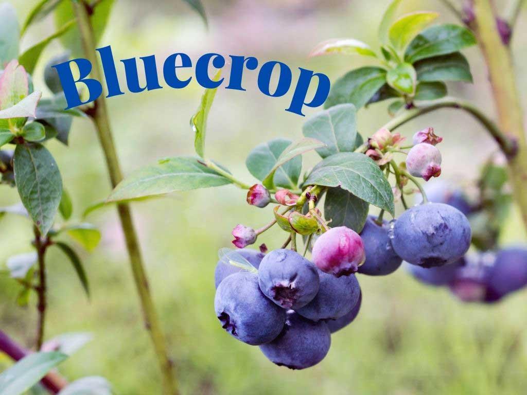 Blueberry yetiştiriciliği için aranan türlerden birisi Bluecrop https://huglero.com