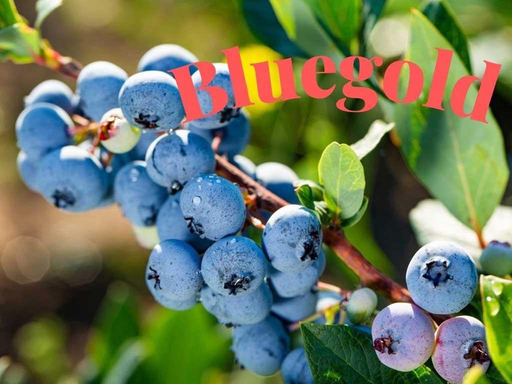 Orta mevsimde olgunlaşan ve hasat edilen bir çeşit olan Bluegold blueberry soğuğa karşı da dayanıklıdır. https://huglero.com