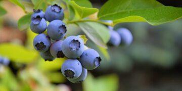 A'dan Z'ye blueberry yetiştiriciliği tekniği detaylı anlatım ve ipuçları. https://img.huglero.com/wp