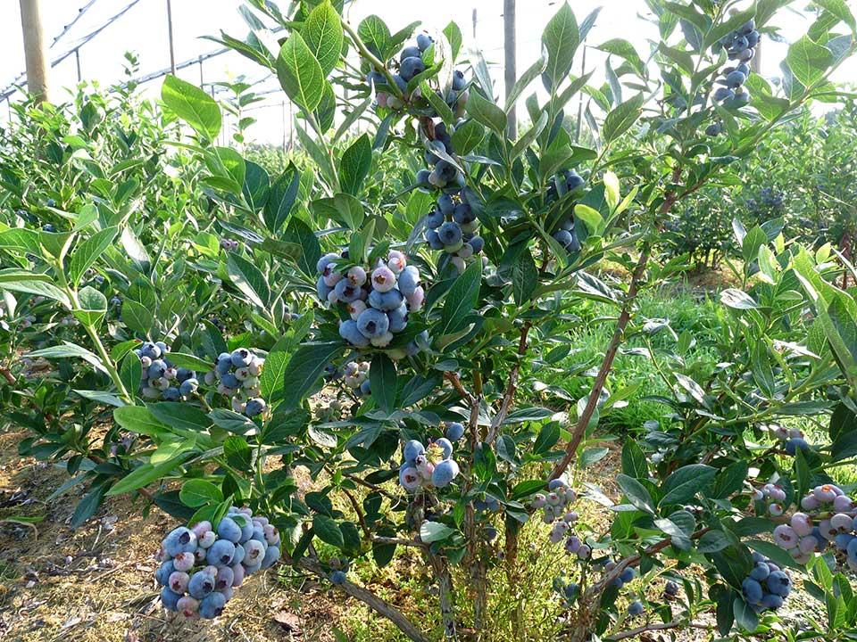 Blueberry olgunlaşma ve hasat - maviyemiş toprak isteği nasıl olmalıdır? https://huglero.com