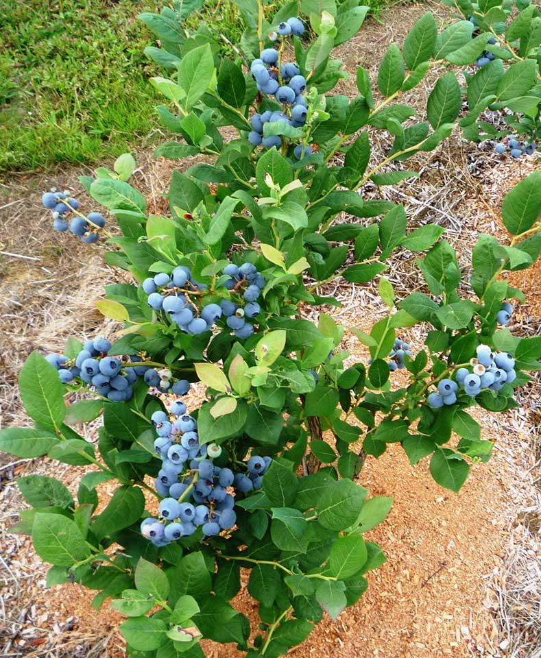 blueberry yetistiriciligi Blueberry Yetiştiriciliği | 13 Tür, Dikimden Hasata En Detaylı Anlatım | blueberry yetiştiriciliği https://huglero.com