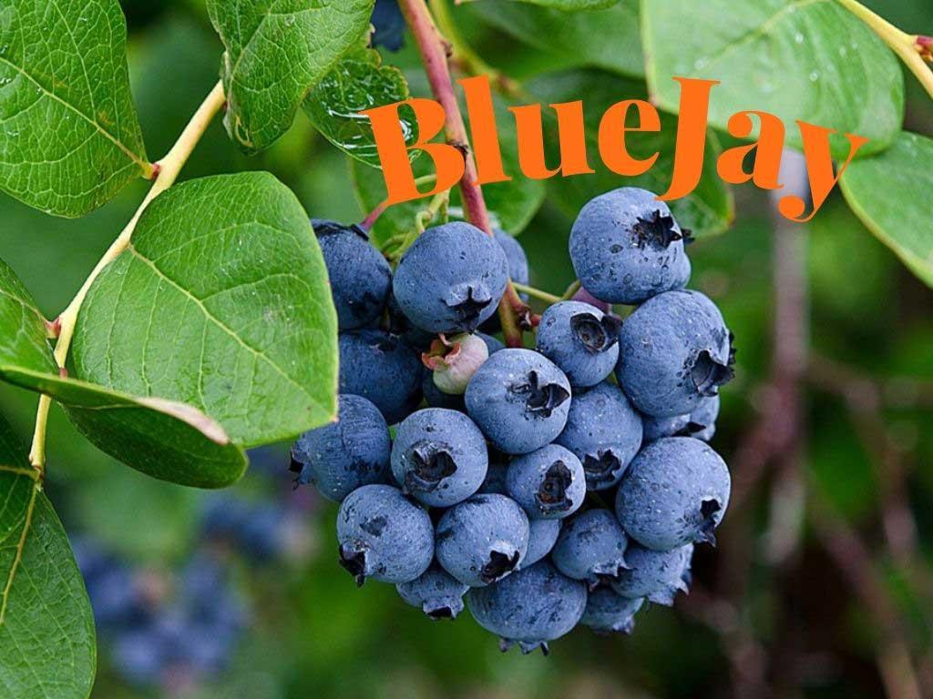 Kuzey çeşidi olan Bluejay orta mevsimde yani Temmuz ayında olgunlaşır ve hasada gelir https://huglero.com