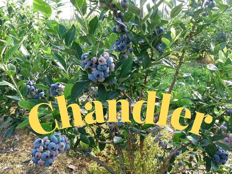 Chandler Soğuğa karşı en dayanıklı blueberry çeşidi olarak düşünülebilir. https://huglero.com