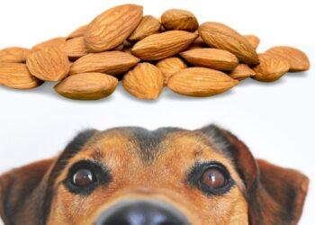 Köpekler badem yer mi? köpekler için kuruyemiş zararlı mıdır? https://img.huglero.com
