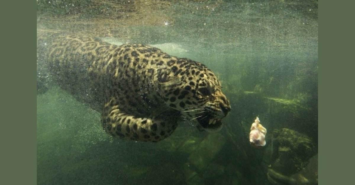 jaguar avlanma https://huglero.com/jaguarlar-gercekte-ne-kadar-tehlikeli/ Kedigillerin en ünlülerinden biri olan ve yalnız kovboy olarak takılan Jaguarlar gerçekte ne kadar tehlikeli? Jaguarlar ne yapar, ne yer... Gelin bu muhteşem güzelliği beraber tanıyalım.