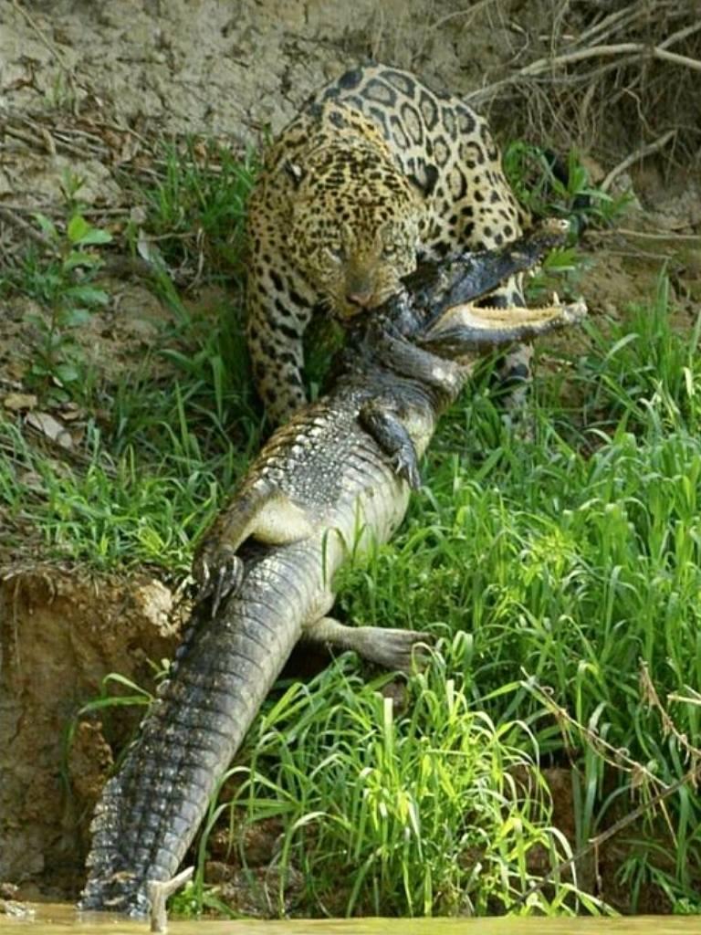 jaguar bite 2 https://huglero.com/jaguarlar-gercekte-ne-kadar-tehlikeli/ Kedigillerin en ünlülerinden biri olan ve yalnız kovboy olarak takılan Jaguarlar gerçekte ne kadar tehlikeli? Jaguarlar ne yapar, ne yer... Gelin bu muhteşem güzelliği beraber tanıyalım.