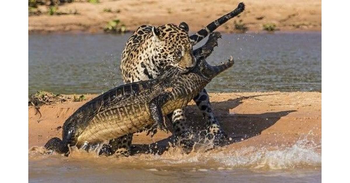 jaguar bite 3 https://huglero.com/jaguarlar-gercekte-ne-kadar-tehlikeli/ Kedigillerin en ünlülerinden biri olan ve yalnız kovboy olarak takılan Jaguarlar gerçekte ne kadar tehlikeli? Jaguarlar ne yapar, ne yer... Gelin bu muhteşem güzelliği beraber tanıyalım.
