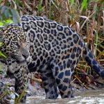 Jaguarların tehlikesi https://huglero.com