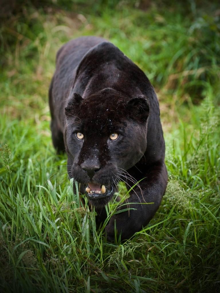 jaguar siyah https://huglero.com/jaguarlar-gercekte-ne-kadar-tehlikeli/ Kedigillerin en ünlülerinden biri olan ve yalnız kovboy olarak takılan Jaguarlar gerçekte ne kadar tehlikeli? Jaguarlar ne yapar, ne yer... Gelin bu muhteşem güzelliği beraber tanıyalım.