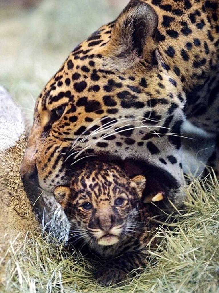 lawn seeding 3 1 https://huglero.com/jaguarlar-gercekte-ne-kadar-tehlikeli/ Kedigillerin en ünlülerinden biri olan ve yalnız kovboy olarak takılan Jaguarlar gerçekte ne kadar tehlikeli? Jaguarlar ne yapar, ne yer... Gelin bu muhteşem güzelliği beraber tanıyalım.